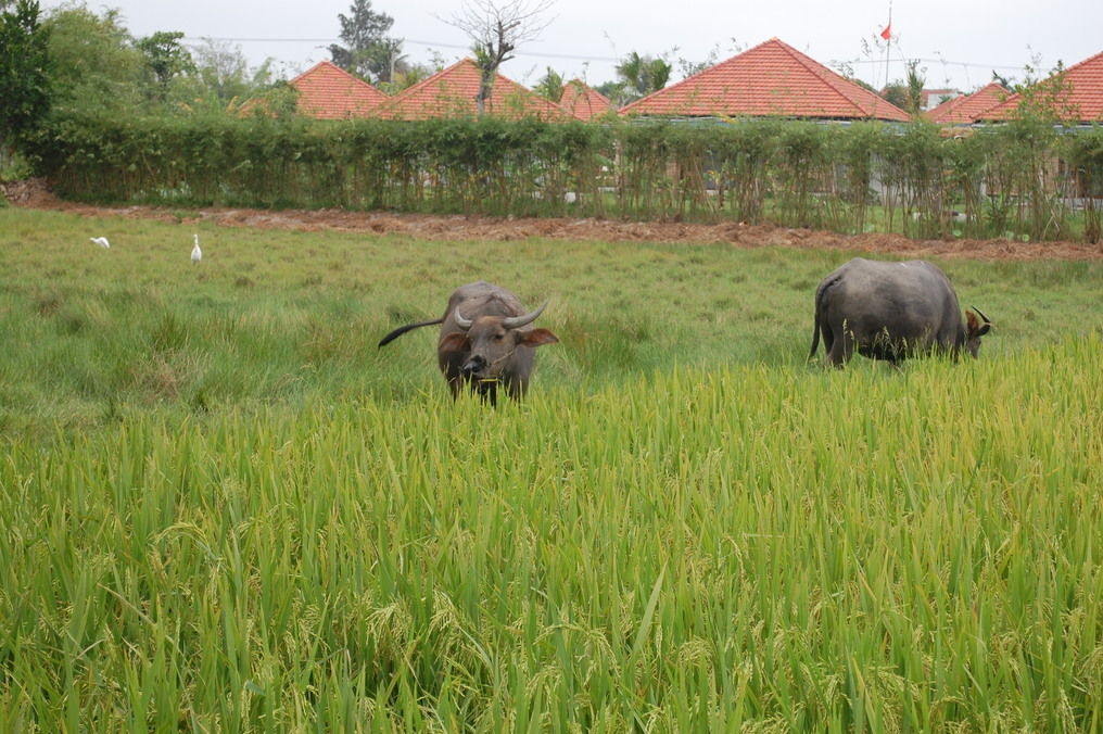 Rice Fields with Buffalo