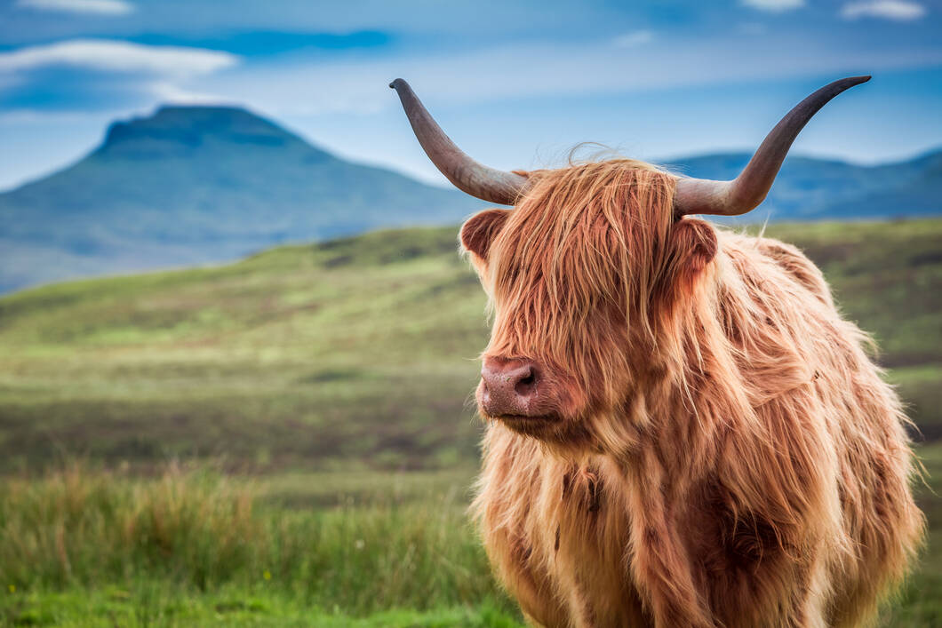 highland cow in Isle of Skye, Scotland