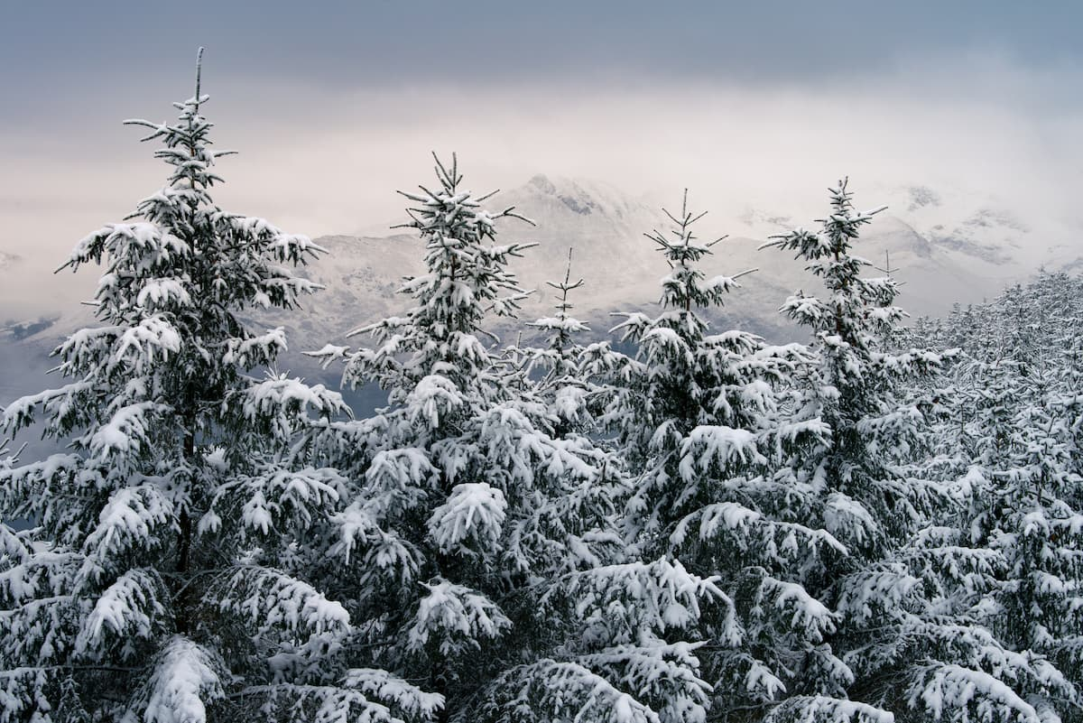 Snow covered Fir trees with snowcapped mountains in background in Keswick, England